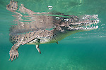 Gardens of the Queen, Cuba; an American Crocodile (Crocodylus acutus) floating on the surface with it's mouth open