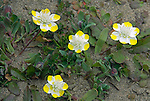 Creamcups (Platystemon californicus), Mendocino County, California, USA