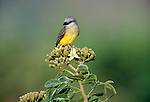 Tropical kingbird, Panama