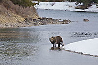 Boar Grizzly Bear crossing the Snake River in Grand Teton National Park