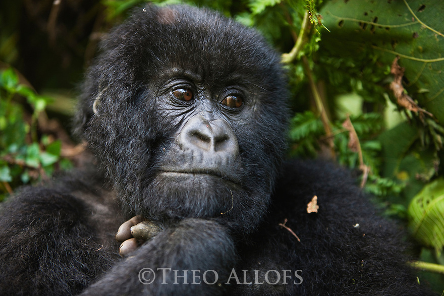 Rwanda, Volcanoes National Park, young male mountain gorilla (Gorilla beringei beringei), portrait