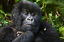 Rwanda, Volcanoes National Park, young male mountain gorilla (Gorilla beringei beringei), portrait