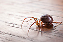 False Black Widow female {Steatoda nobilis}, an invasive species to the UK. The species can bite humans in defence, which can be painful in some instances. The false widow has been established in the UK for over 100 years, particularly around ports on the south coast of England where it may have reached on banana shipments. UK.
