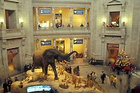 National Museum of Natural History, Washington, DC, District of Columbia, A large African Elephant is displayed inside the National Museum of Natural History of the Smithsonian Institution in Washington D.C.