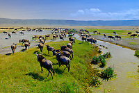 Large numbers of blue wildebeest (gnu), Ngorongoro Crater, Ngorongoro Conservation Area, Tanzania