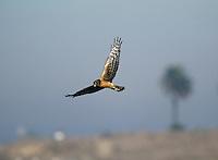 Northern Harrier - Circus cyaneus hudsonius - 1st winter