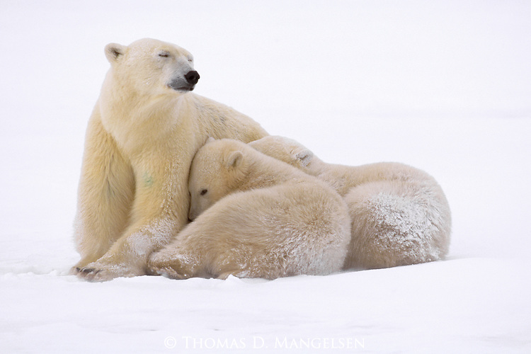 In spite of their dense fur, polar bear cubs rely on the protection of their mother's body to shield them from the harsh arctic winds of early winter at Hudson Bay in Manitoba, Canada.