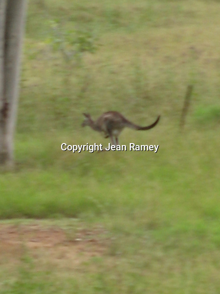 Hopping kangaroo, Australia