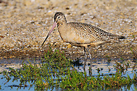 Marbled Godwit (Limosa fedoa).  California.  March.