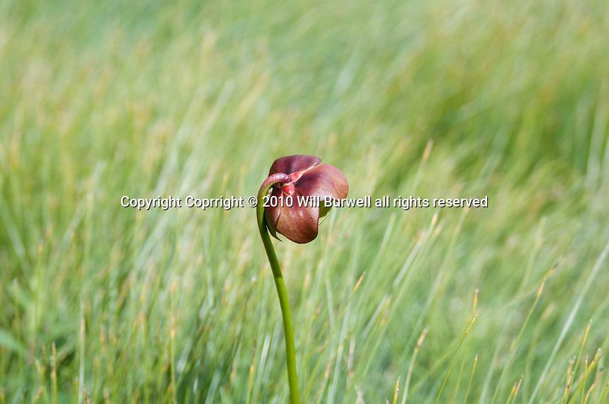 Pitcher Plant Gros Morne National Park Newfoundland and Labrador