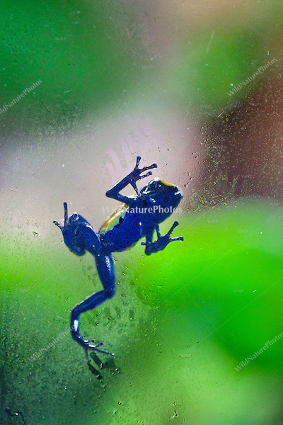"The Yellow and Blue ""Citronella"" Poison Dart Frog (Dendrobates tinctorius ""Citronella""), climbing on window glass, captive"