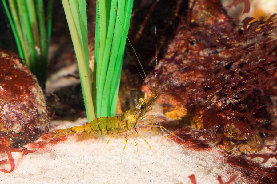 Kleine Gewöhnliche Felsengarnele, Hübsche Felsgarnele, Steingarnele, Garnele, Palaemon elegans, European rock shrimp, rockpool prawn, Garnelen, Prawns