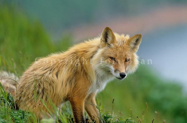 Red fox sitting on hillside at Round Island, Walrus Islands State Game Sanctuary, Alaska, AGPix_0192.