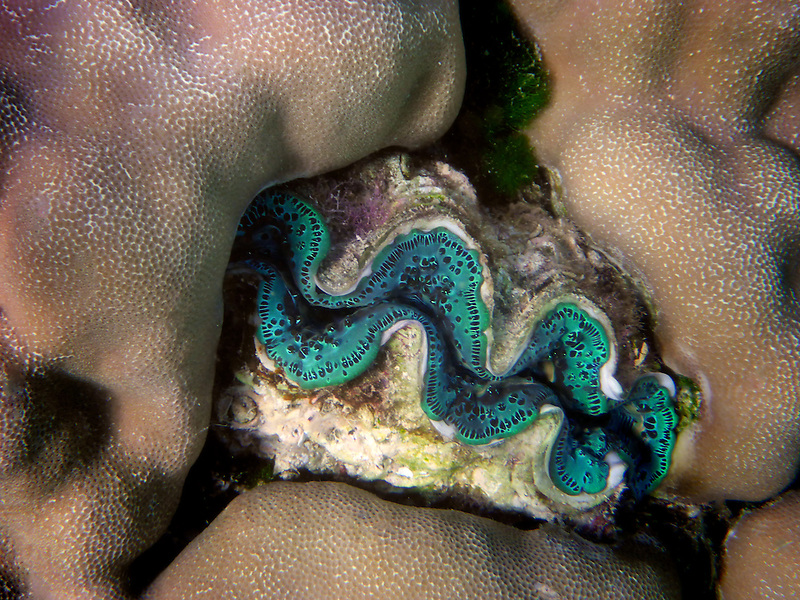 Tridacna clams. Bora Bora. French Polynesia.