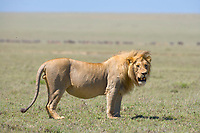 Male lion, Serengeti National Park, Tanzania, East Africa