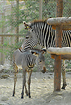 Grevy's zebra newborn with mother, Living Desert Reserve