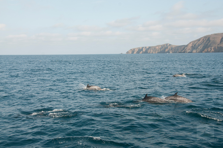 bottle nose dolphins out of the coast of puerto lopez ecuador