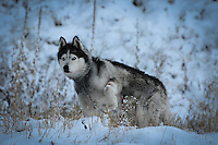 Siberian Husky Lakota Sunrise at Dancing Deer Ranch November 17, 2011 photos of siberian huskies, husky photos, pictures of siberian huskies, best photos of huskies, best photos of siberian huskies