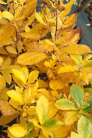 Clethra alnifolia Hummingbird fall foliage