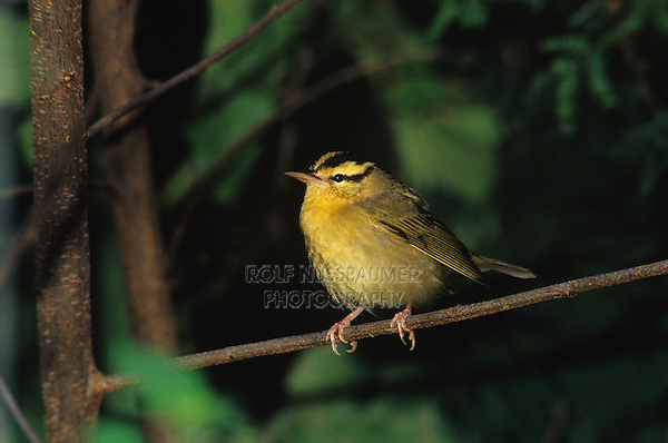 Worm-eating Warbler, Helmitheros vermivora, adult, High Island, Texas, USA, April 2001