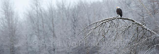 Bald Eagle (Haliaeetus leucocephalus). Southeast, Alaska. December.