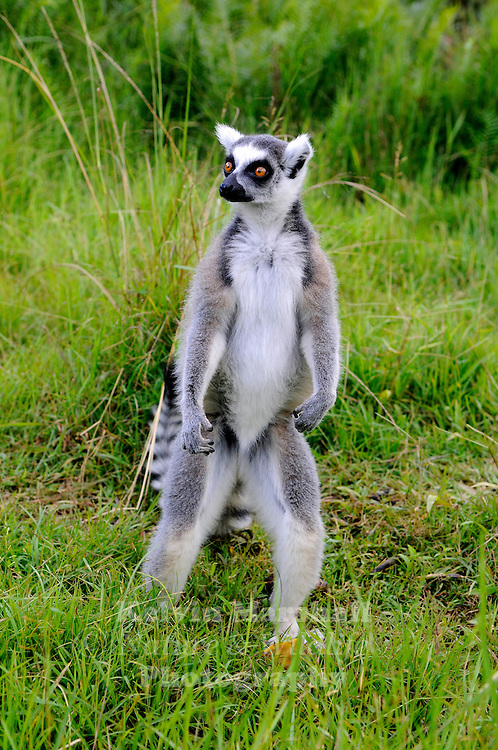 The Ring-tailed Lemur (Lemur catta) is a large strepsirrhine primate and the most recognized lemur due to its long, black and white ringed tail. It belongs to Lemuridae, one of four lemur families. It is the only member of the Lemur genus. Like all lemurs it is endemic to the island of Madagascar. Known locally in Malagasy as hira or maky (spelled maki in French), it inhabits gallery forests to spiny scrub in the southern regions of the island. It is omnivorous and the most terrestrial of lemurs. The animal is diurnal, being active exclusively in daylight hours. Andasibe National Park - Lemur Island, Eastern Madagascar.