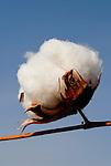 TANZANIA Meatu, organic cotton project biore of swiss yarn trader Remei AG , cotton harvest