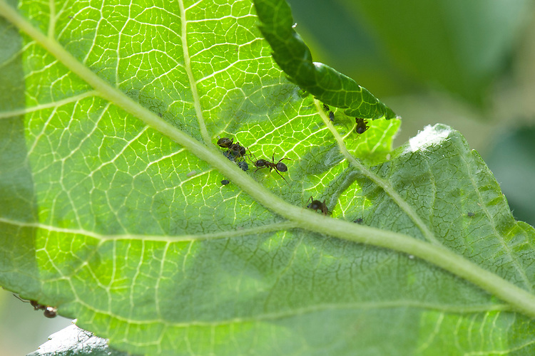 "Ants ""milking"" aphids on the underside of an apple leaf, early May. The ants stroke them with their antennae in order to harvest and eat the honeydew that the aphids secrete – a symbiotic, mutualistic relationship."
