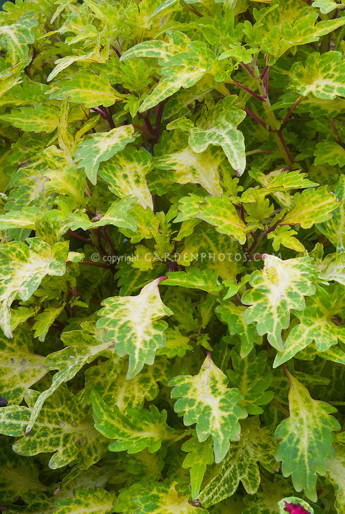 Solenostemon (Coleus) 'Spire', green and yellow ornamental annual foliage plant