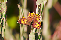 LILAC BOARDERED COPPER BUTTERFLY