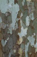 Ahornblättrige Platane, Bastard-Platane, Gewöhnliche Platane, Gemeine Platane, Hybrid-Platane, Rinde, Borke, Stamm, Platanus x hispanica, Platanus × acerifolia, Platanus × hybrida, London plane, maple-leaved plane, bark, rind, Le platane commun, platane à feuilles d'érable. Kreuzung aus der Amerikanische Platane (Platanus occidentalis) und Morgenländische Platane (Platanus orientalis)