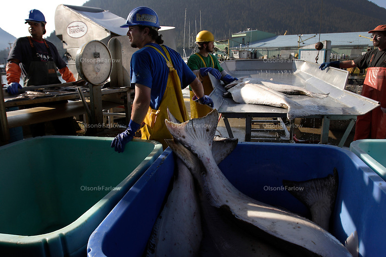 Workers unload fish at Norquest cannery.   It is salmon season and boats are full of pinks (humpies), silvers,(coho), reds (sockeye), chum (dog) and king (chinook).  Halibut is unloaded and weighed.  Each fish ranged from 15 to 150 pounds with most averaging around 65.  The orange fish is a deep water fish called a Yelloweye.  Norquest is a small family operation founded in 1916--recently sold to Trident.  They employ about 60 workers..Petersburg is a town of 3100 of Norwegian fisherman on Mitkof Island that was settled at the turn of the last century.  It was a Tlingit fishing village 2000 years ago.  Today three seafood processing plants.  The port has the largest home-based halibut fleet in the Southeast. Petersburg is blessed to have shallow waters so cruise ships cannot enter the Narrows and it has remained a thriving, working community that is proud of that fact.  .