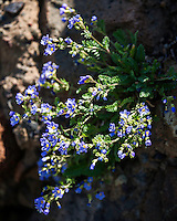 Alpine forget-me-not, wildflowers of Yellowstone