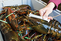 Mark Barlow, co-owner of Island Seafood, a lobster dealer in Eliot, Maine, USA, demonstrates how to measure a lobster's carapace on Wed., Jan. 31, 2018. Maine state conservation laws strictly regulate the size of lobsters that fishermen can harvest, between 3.25 and 5 inches. The metal measuring stick is 5 inches long.