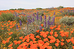 California poppies and lupin