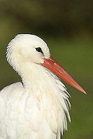 White Stork - Ciconia ciconia. L 100-115cm. Large and unmistakable black-and-white bird. Winters in Africa, breeds in mainland Europe and turns up in small numbers, usually in spring and summer, favouring wet grassland.