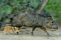 650520122 a wild mother and her baby javelinas or collared peccaries dicolytes tajacu run through a desert habitat in the rio grande valley of south texas