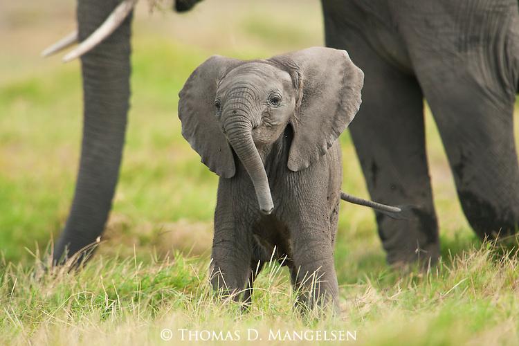 Elephants Animal Animals Calf: MANGELSEN - Images Of Nature