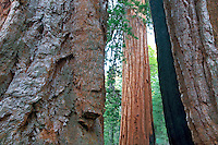 Clothspin Tree. Giant Sequoia Redwood. Mariposa Grove. Yosemite National Park, California