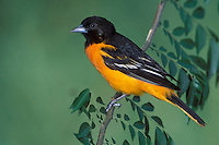 Baltimore Oriole -  Icterus galbula - Adult male