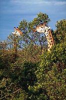 Masai giraffes, with necks and heads above the trees, East Africa