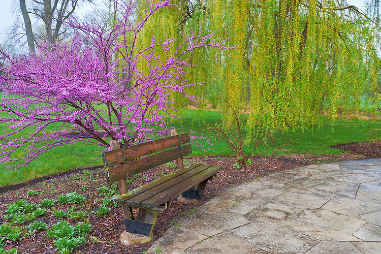 Redbud and Willow trees in Spring color along a walk-way; The Morton Arboretum, IL