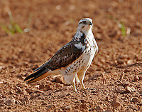 Swainson's hawk light juvenile in spring migration