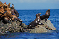 California sea lions (Zalophus californianus), Pacific Coast.