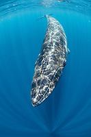 Bryde's whale, Balaenoptera edeni, Trincomalee, Eastern Province, Sri Lanka, Bay of Bengal, Indian Ocean