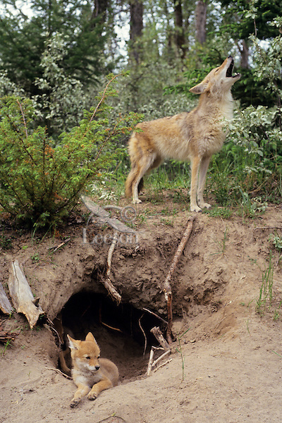 Coyote adult and young at den. Adult is howling