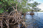 Some species of mangroves form branched aerial roots that grow harder and support the position of the adult tree.