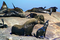 CAPE TOWN, SOUTH AFRICA, NOVEMBER 2004. Houtbaai just outside Cape Town hosts a colony of seals on Seal island.  Photo by Frits Meyst/Adventure4ever.com