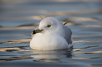 Ring-billed Gull (Larus delawarensis), adult in winter plumage swimming in Cammann's Pond in Hempstead, Merrick, New York at dawn.