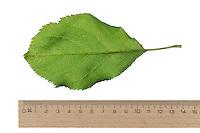 Apfel, Apfelbaum, Kulturapfel, Kultur-Apfel, Malus domestica, Apple, Le pommier domestique, pommier commun. Blatt, Blätter, leaf, leaves